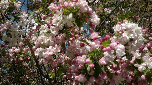 041220141136 Flowering Japanese Crabapple 1