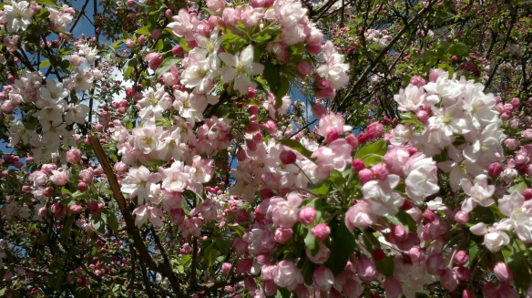 041220141136 Flowering Japanese Crabapple 1