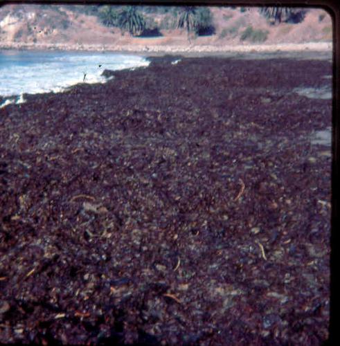 Seaweed at Refugio_4135518072_m