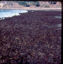 Seaweed at Refugio