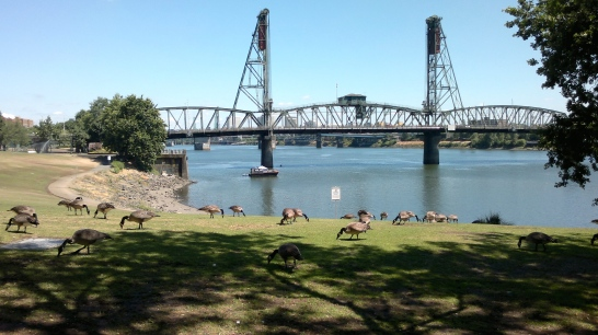 Geese Hawthorne Bridge Looking North Downriver
