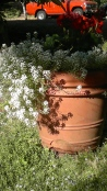 Ocher Pot with White Flowers